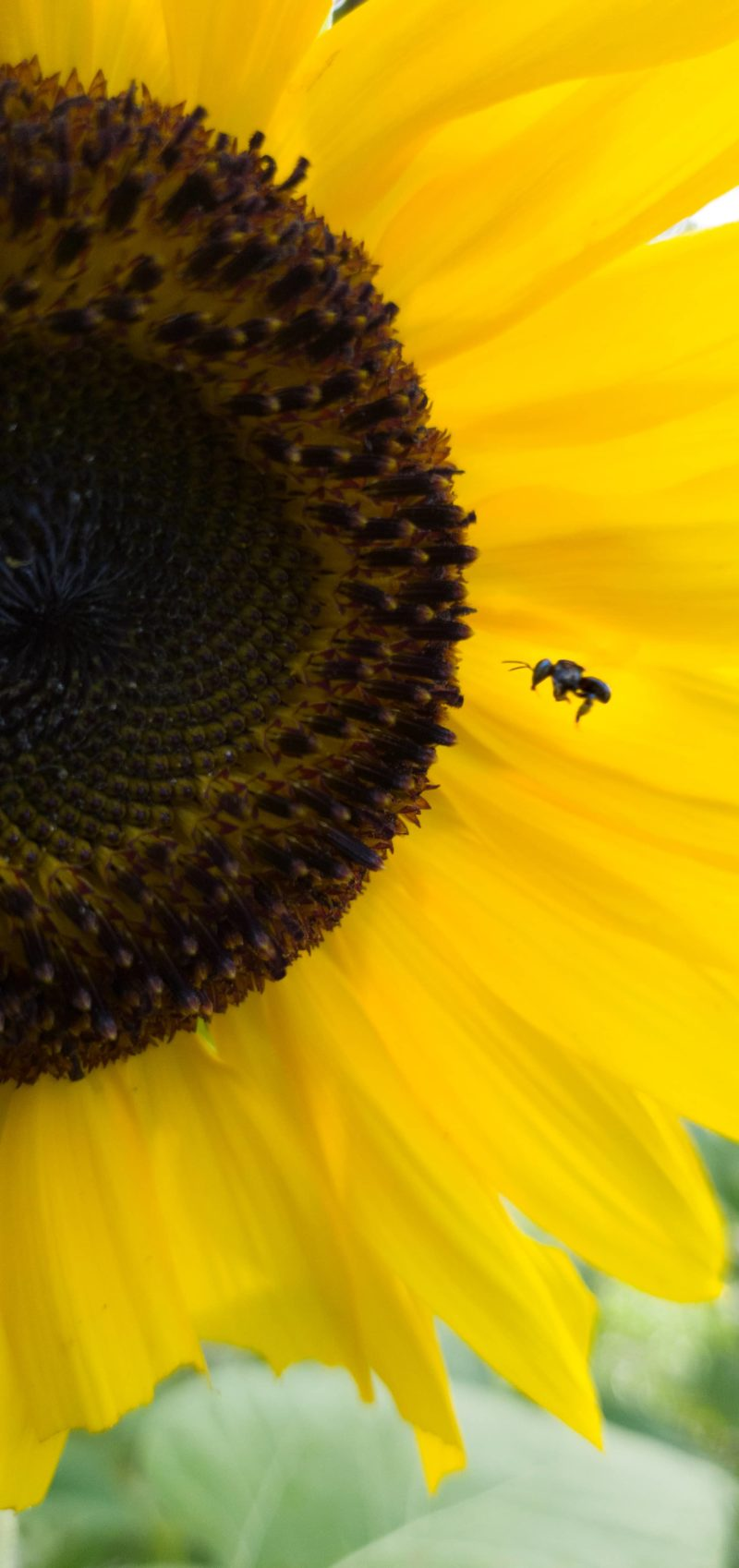 Boca-de-Sapo pollinating Sunflower
